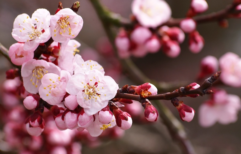 sakura-flowers-cherry-blossom-branch-buds-petals-pink-white-spring-nature